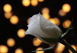 Qu'est ce qu'une fleur séchée ?